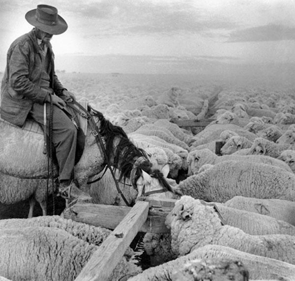 Droving Sheep, Deniliquin stock route, c.1954