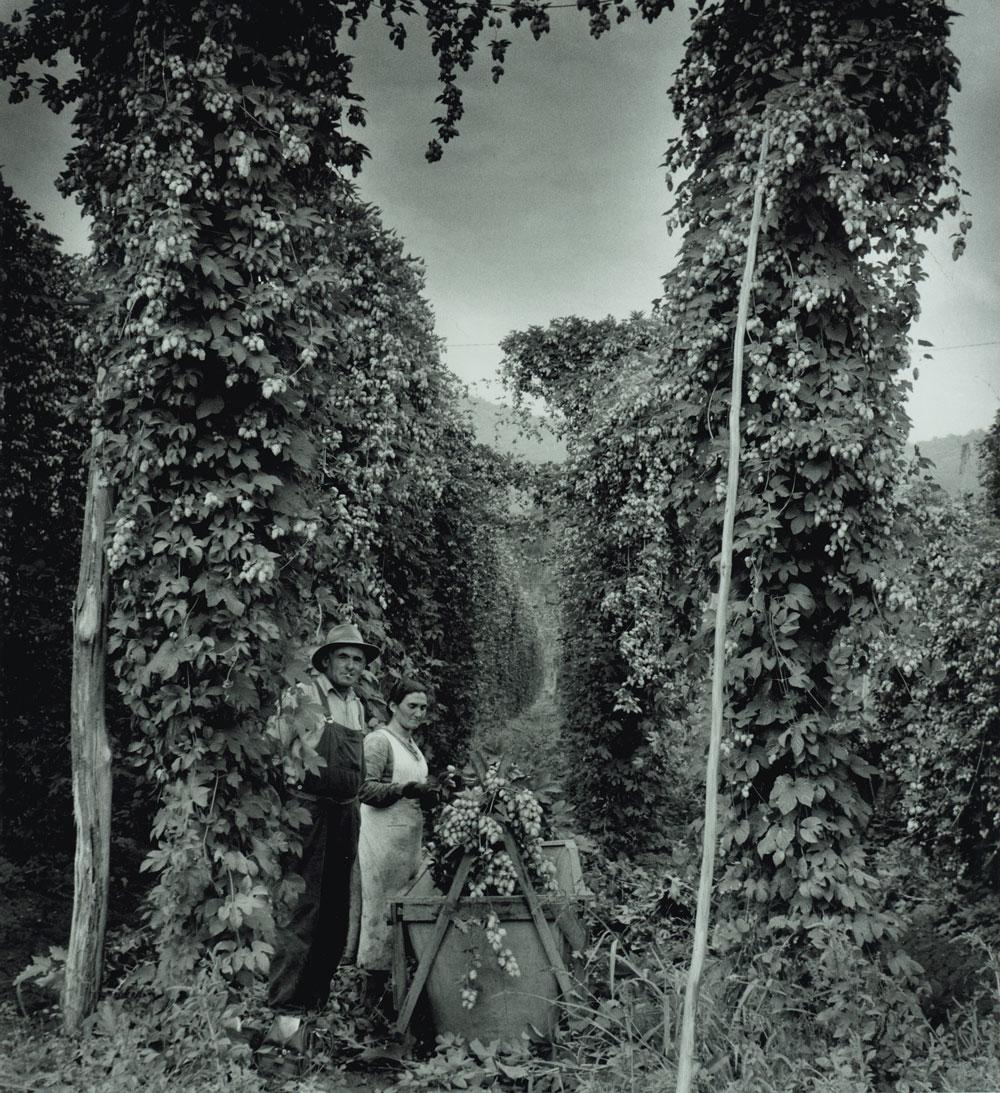Hop pickers at Rostrevor hop garden, Ovens Valley, 1957